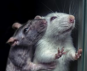 pair of rats, gray and white rats